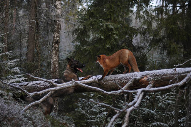 9pqix-fox-hound4