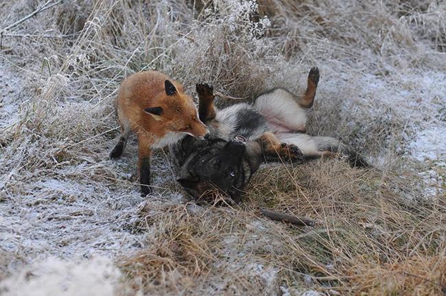 cpeqg-fox-hound3