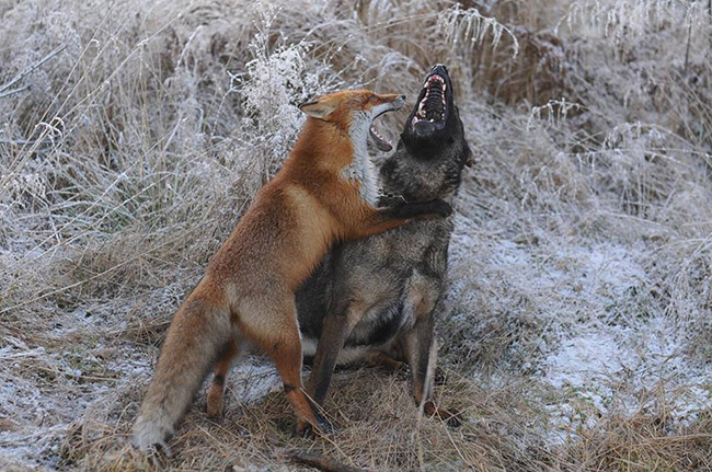 iyjvv-fox-hound6