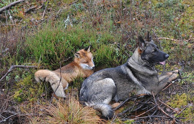 jdw9p-fox-hound8