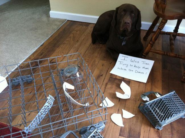dogs-who-are-shamelessly-proud-of-what-they-just-did-7
