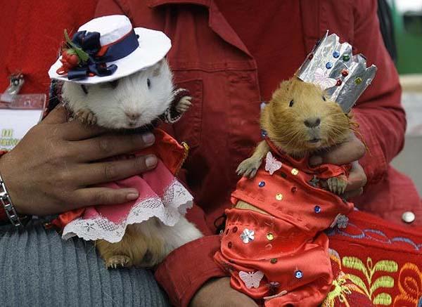 guinea-pigs2