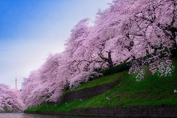 japansk tre