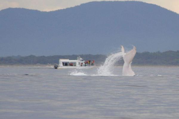 albino-whale-002