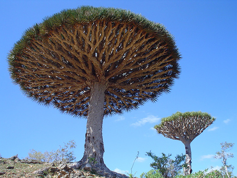 dragon_blood_tree_01