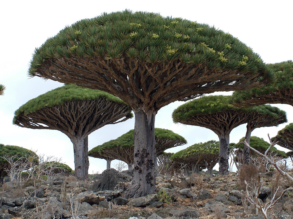 dragon_blood_tree_02