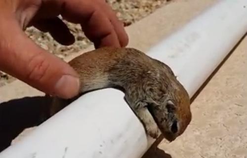 druknende-ekorn