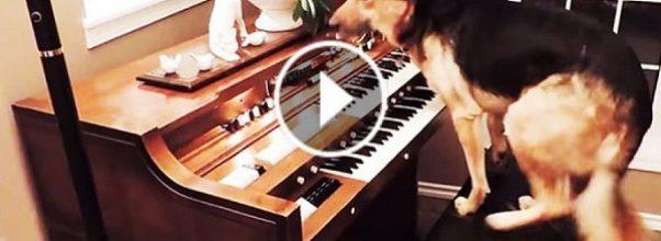 piano-hund