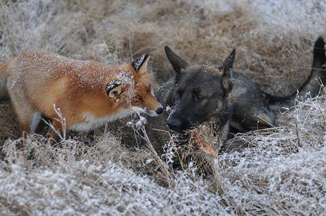 3o08i-fox-hound1