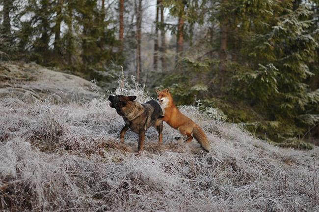 az21f-fox-hound2
