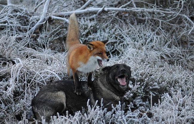e0nop-fox-hound10
