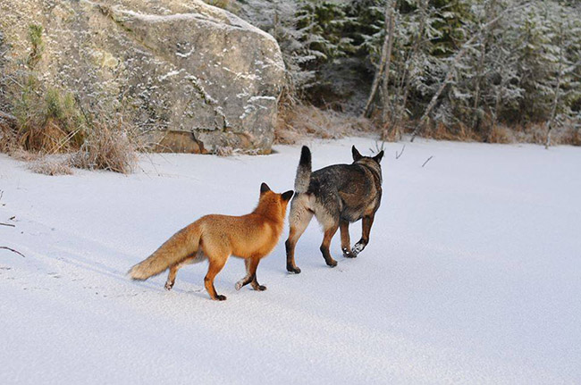 qx2rt-fox-hound7