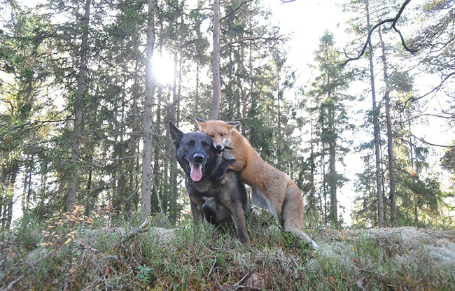 w8prv-fox-hound9