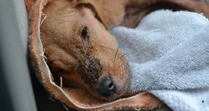 Denne hunden ble etterlatt for å dø… Så skjedde det et mirakel.