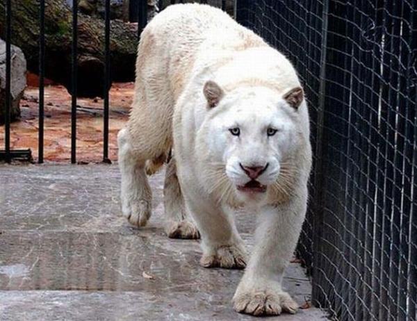 08-A-very-rare-Tiger