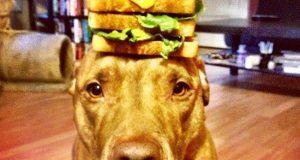 Du vil ikke tro de tingene denne hunden kan balansere på hodet. Banebrytende selvkontroll.