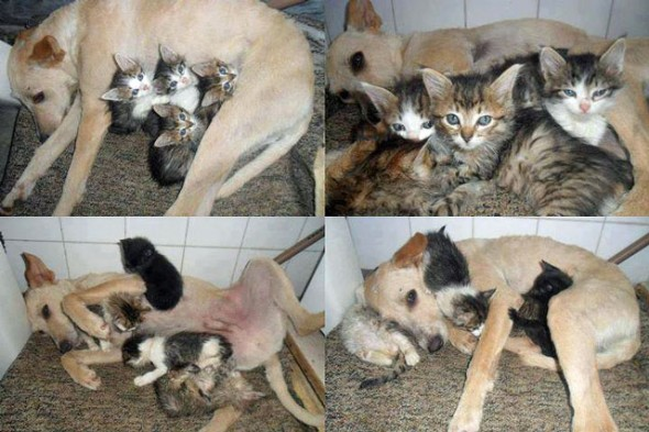 9.26.13-Scamp-Saves-Kittens-590x393