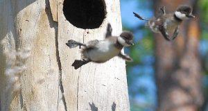 Første flygetur-blinkskudd: Andunger forlater redet sitt for første gang. Se på de søte, små vingene.