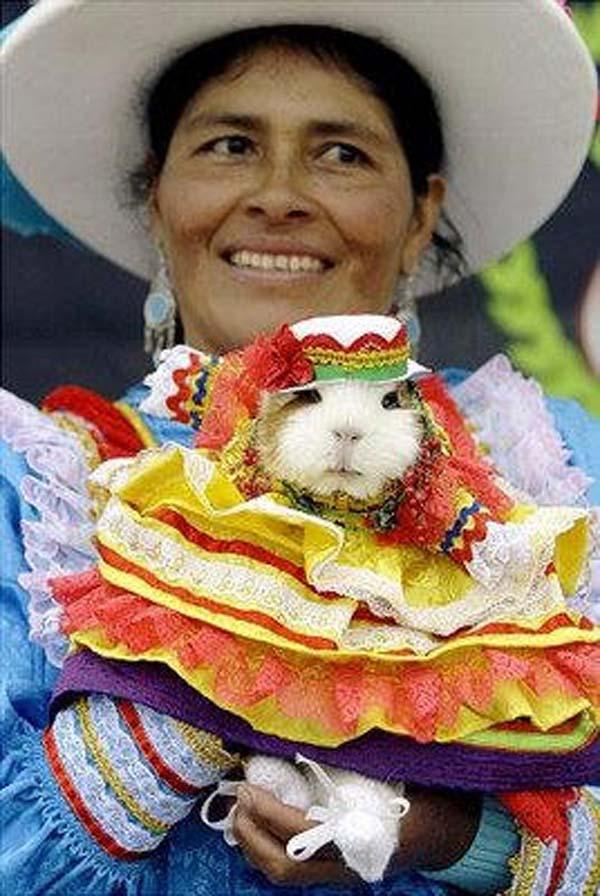 guinea-pigs6