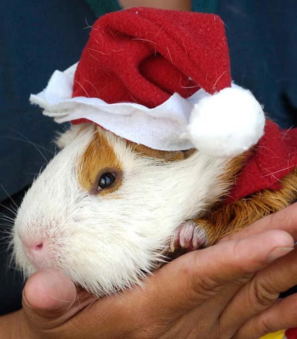 guinea-pigs8