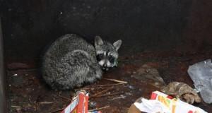 De kikket ned i søppelcontaineren, og… VASKEBJØRN! Det som skjedde videre varmet mitt hjerte.