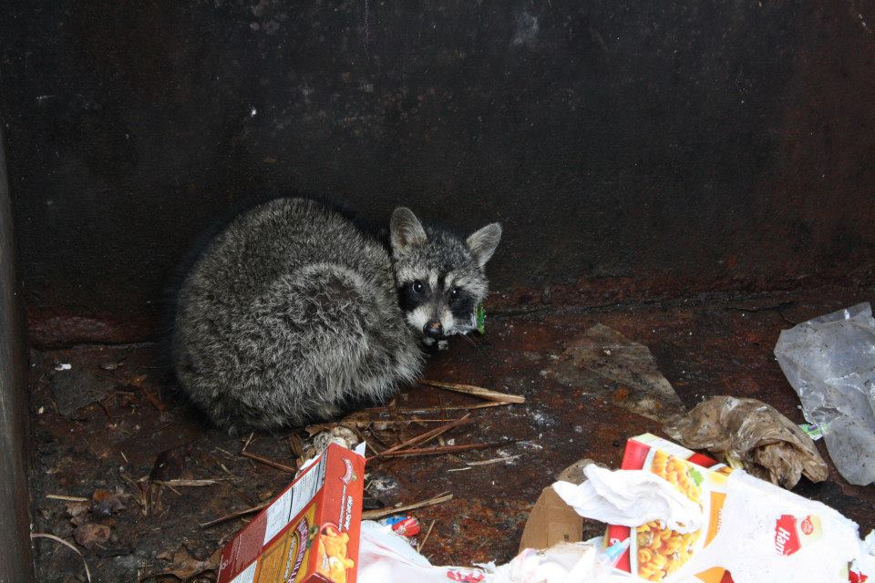 racoon-rescue3