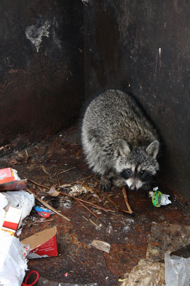 racoon-rescue6