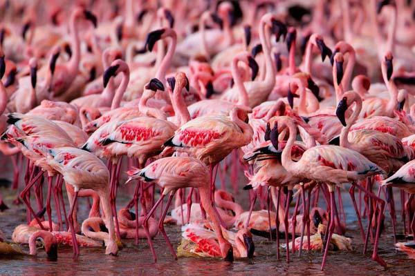 _flamingo__002