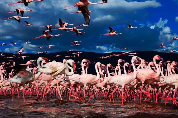 _flamingo__008
