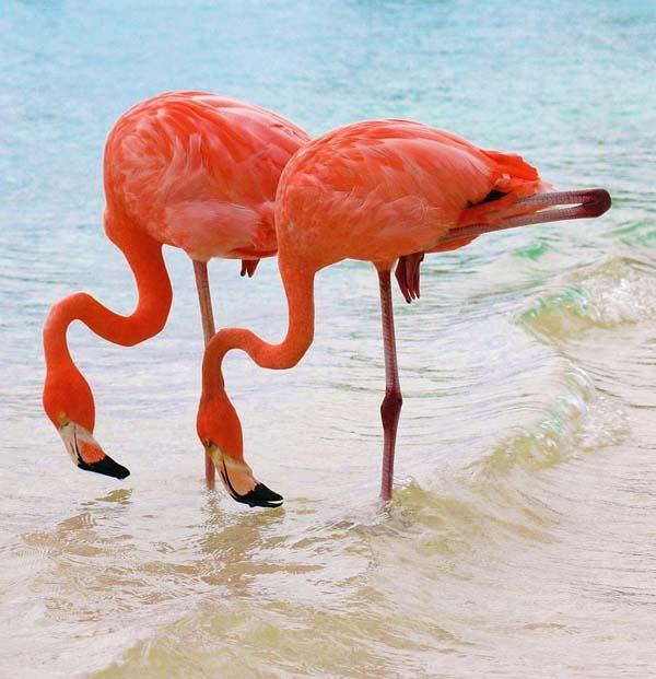 _flamingo__009