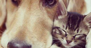 Denne nydelige kattungen ble avvist av sin mor. Så kom denne golden retrieveren til unnsetning. Utrolig.