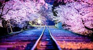 I Japan er det et tre som blomstrer hver april. Og det er trolig det vakreste treet jeg har sett.