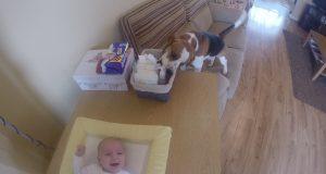 Bare en hund som hjelper til med å skifte bleie på ungen. Vent litt…. WHAT?!