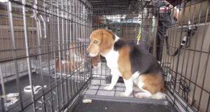 Disse hundene tilbragte hele sine liv i bur på laboratorier, så skjedde DETTE… Bare se.