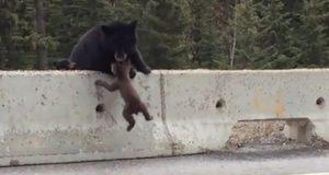 Denne bjørnungen befant seg plutselig FARLIG nært trafikken. Men så kom mamma…