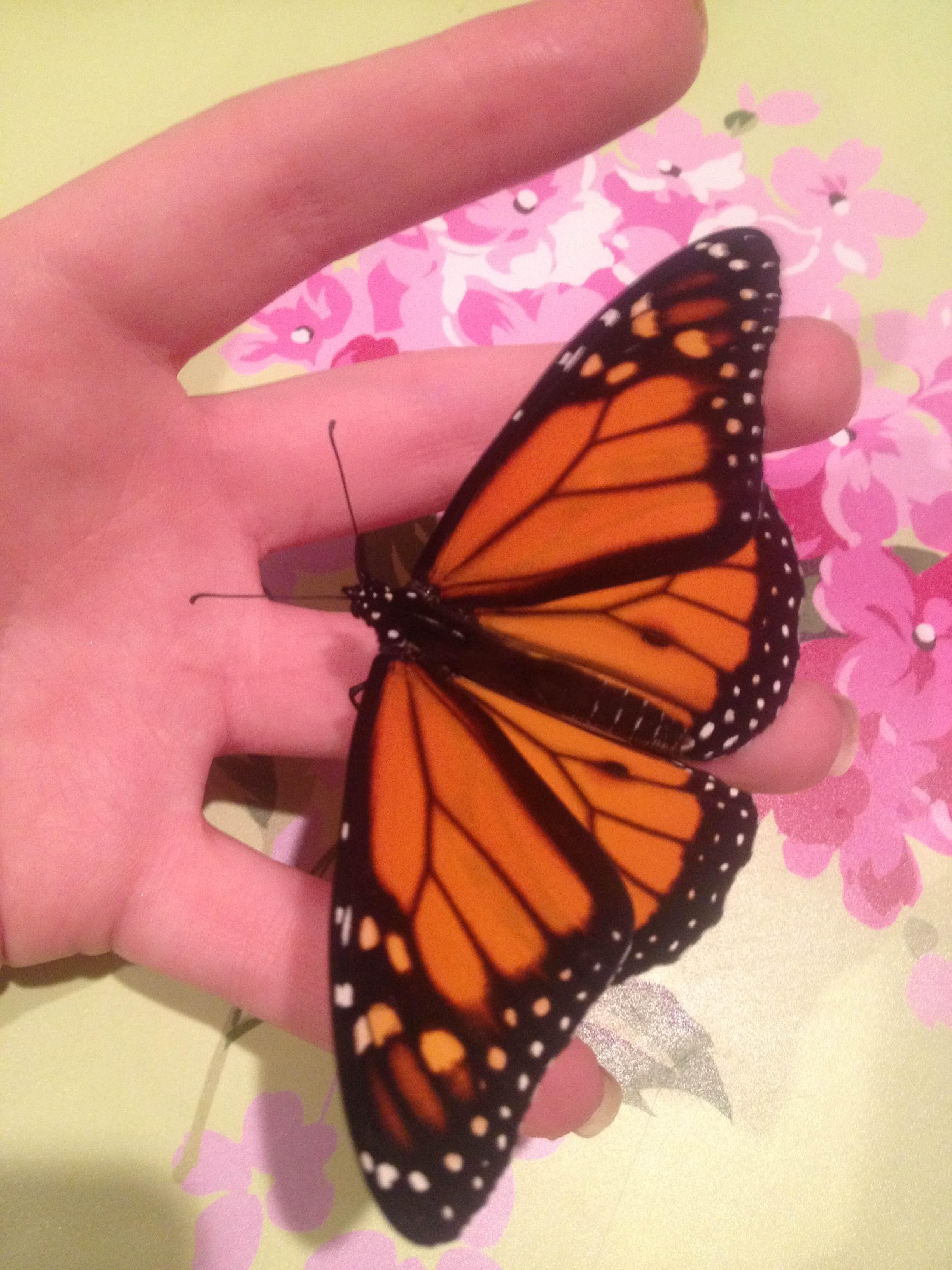 butterfly_pet_12