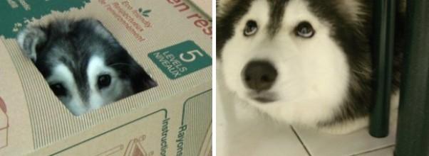 Denne nydelige hunden ble oppdratt av katter… og nå tror hun at hun ER en katt. Se selv.