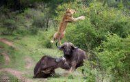 Noen løver trodde de skulle få seg en bøffel-middag. Men sistnevnte hadde andre planer…