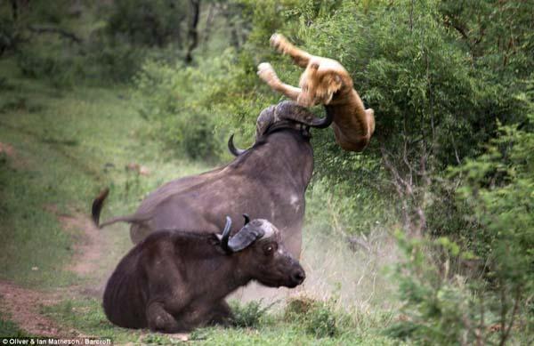 buffalo11