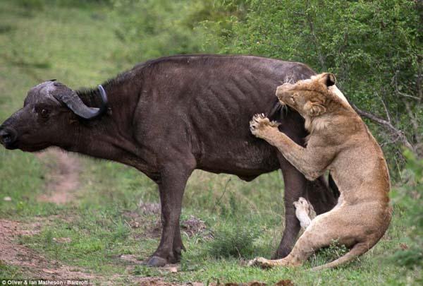 buffalo2