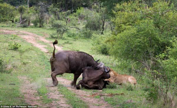 buffalo9