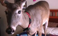 Denne døende hjortekalven dukket opp på dørkarmen til en syk kvinne og forandret hennes liv.