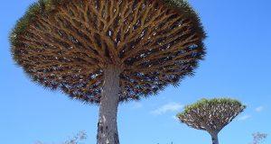 Det disse drageblodstrærne gjør er som tatt ut av mytologi. Bortsett fra at det er fullstendig ekte.