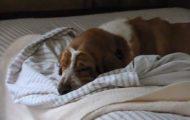 Denne trøtte hunden nekter å gå ut av sengen. Så se hva hans søte eier blir nødt til å gjøre. Elsker dette.