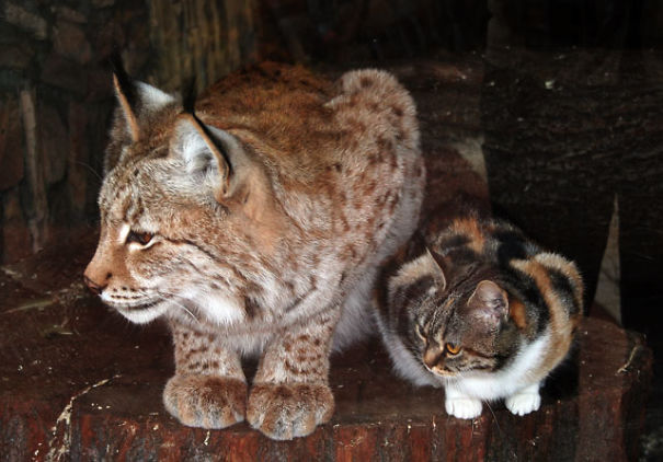 katt-gaupe (1)