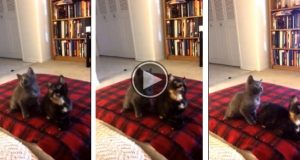 Du har aldri sett to kattunger jamme, sa du? Da må du se dette. Haha.