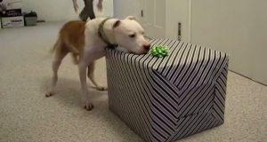 Etter å ha overlevd i 7 måneder etter kjemoterapi fikk denne pitbullen sitt livs overraskelse. NYDELIG.