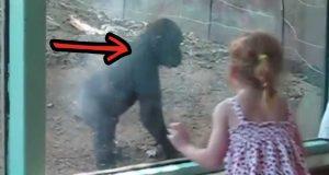 En liten jente møter en babygorilla i dyreparken. Se hva den gjør med jenta.