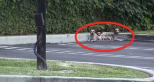 Noen dumpet 3 chihuahuaer på gaten. Historien om hvordan de ble reddet vil gripe hjertet ditt.
