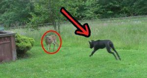 Ingen forventet at denne hunden skulle reagere som dette rundt en vill hjort. Utrolig.
